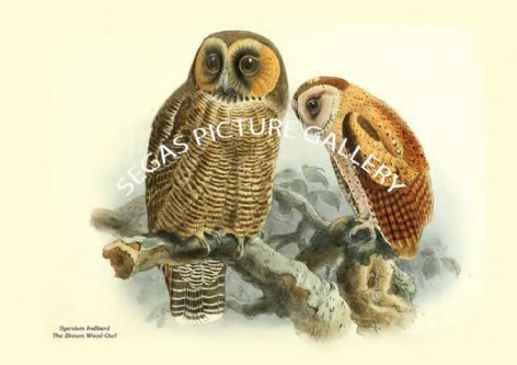 Fine art print of the SYENIUM INDBANL - THE BROWN WOOD-OWL by Captain W Vincent Legge (1880)